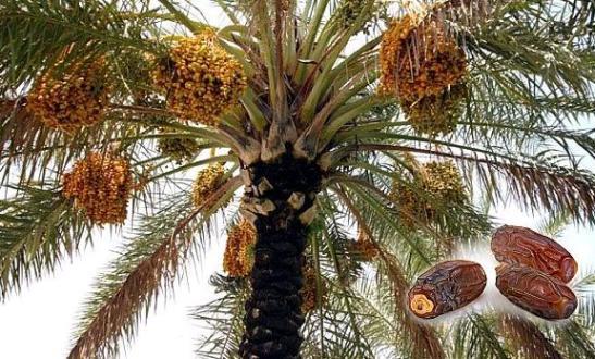 Hurmanın Sağlığa Faydaları ve Hurmanın İslamdaki Yeri