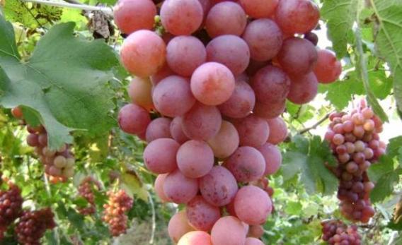 Doğal kırmızı üzüm nasıl kurutulur?
