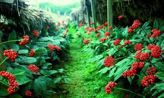 Amerikan Ginsengi Bitkisinin Faydaları ve Zararları