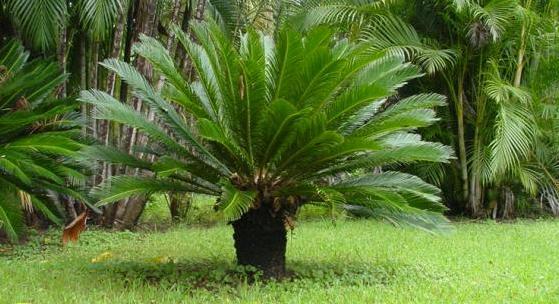 Cüce palmiye bitkisinin faydaları