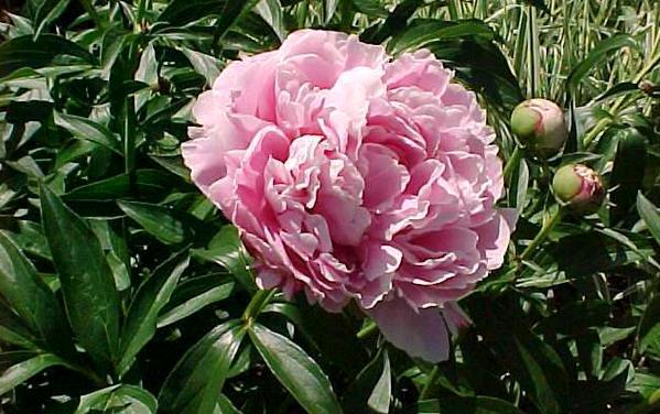 peonia albiflora