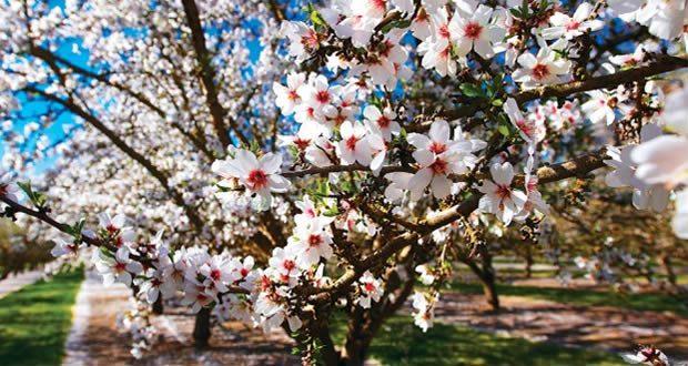 Datça Yarımadasında bembeyaz badem çiçekleri açıyor