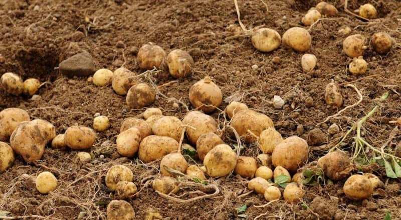 Türkiye'de Patates Üretimi ve Bu Patates Neden Pahalı?